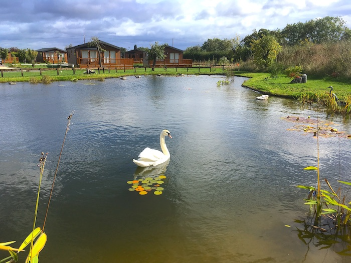 A swan visiting the water feature on Oakmere Lodge Park